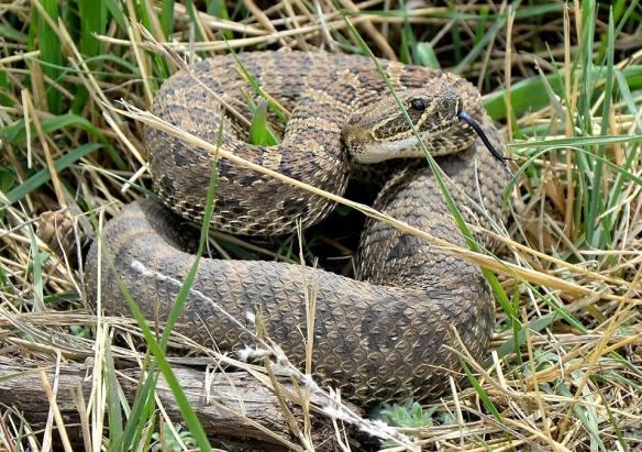 CM 50 snake